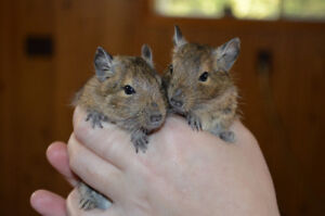 Degus, Sibling Pairs (Cage Included)