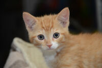 Petits chatons - Kittens vaccinated and dewormed for sale