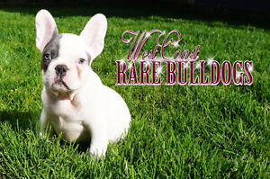THE MOST BEAUTIFUL FRENCHIES YOU HAVE EVER SEEN !! ONLY 1 LEFT!!