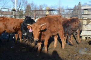Longhorn/Corriente Calves For Sale