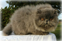 Reg Persian Kittens - Vetted/Health Tested/Vacc