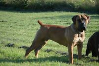 Top Quality South African Boerboel Puppies
