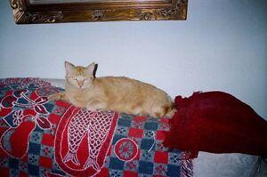 LOST ORANGE MALE TABBY CAT