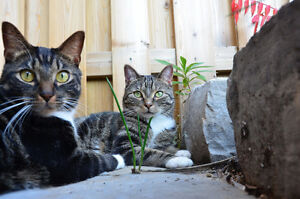 FREE - Two exotic & affectionate adult cats Cambridge Kitchener Area image 2