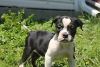 Rare color bulldog puppies - All puppies are $1500