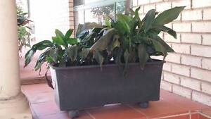 PEACE LILLY IN SELF WATERING POT East Kurrajong Hawkesbury Area Preview