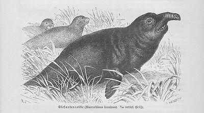 See-Elefanten Mirounga Holzstich von 1891 Robben