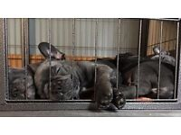 Just 1 amaizing quality chunky solid blue boy frenchbull dog puppies left!! Ready to leave now!