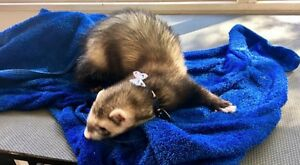 Ferret Grooming Gosnells Gosnells Area Preview