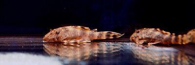 """Live Rare Freshwater Fish - 2"""" Clown Pleco (L-104) - Suckermouth Catfish"""