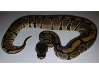 Royal python baby (het albino)