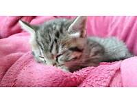 Bengal x tabby kitten