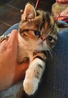 EXOTIC SHORTHAIR AND PERSIAN KITTENS