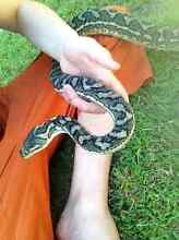 Highly Placid Carpet Python Free To Good Home- Enclosure For Sale West Ipswich Ipswich City Preview