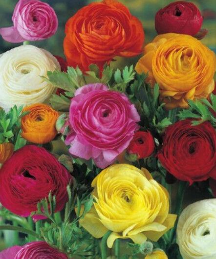 10, 25 oder 50 Ranunkeln gefüllte bunte Mischung Blumenzwiebeln