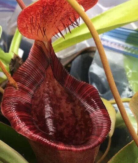 Nepenthes x briggsiana (lowii X vent Red) bareroot plant. RARE! GORGEOUS!
