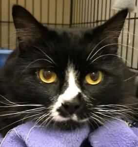 """Young Female Cat - Tuxedo: """"Constance"""""""