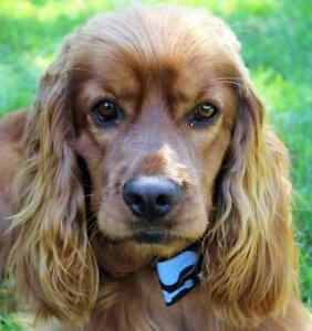 """Young Male Dog - English Cocker Spaniel: """"Eddie~Adopted!"""""""