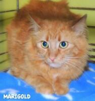 "Young Female Cat - Domestic Long Hair: ""Marigold 16 (Mary St.)"""