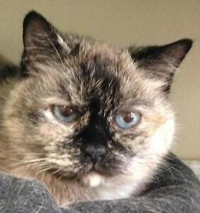 "Adult Female Cat - Dilute Tortoiseshell-Himalayan: ""Vicky"""
