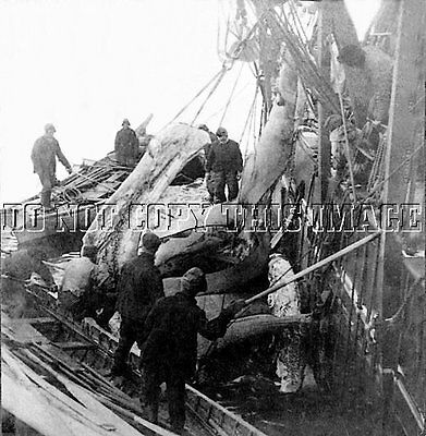 ANTIQUE REPRO 8X10 PHOTOGRAPH SPERM WHALE HUNTERS RENDERING OIL # 1