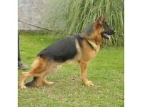 German Sheperd puppies due in August 5th