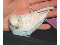 Female budgie looking for loving home