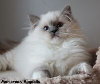 Purebred Spayed and Neutered Ragdoll Kittens