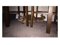 Two mini Rex rabbits