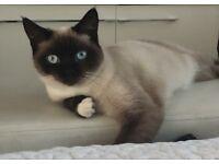 Little half Siamese kittens for sale