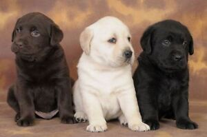 Wanted - PURE LABRADOR PUPPY