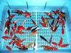Japanese Koi Carp Fish For Sale Bournemouth