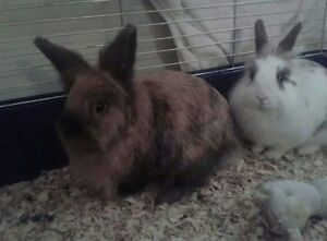 Two female rabbits for sale