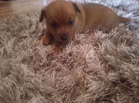 Miniature jack russell pup