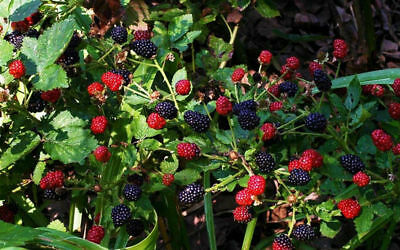 Blackberry Fruits Plants Prime-Ark Freedom 4 Live Plant Graden 2