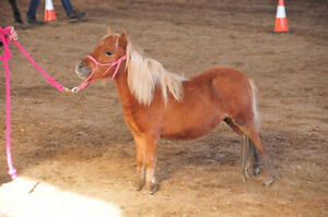 AMHA Miniature Horse filly