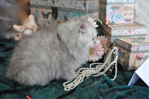magnifique chat Persan sivershaded  chinchillas et tabby