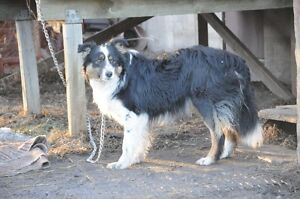 Border Collie Male Needing to be Rehomed Strathcona County Edmonton Area image 1