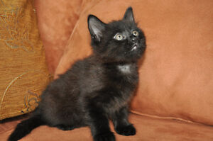 Manx kittens black with brown ghost stripes