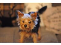 TEACUP Yorkshire terrier yorkie puppy dog