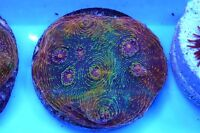 Coral Frags ( Buble Gum Chalice For Sale