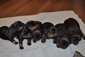 Purebred Registered Rottweiler Puppies For Sale