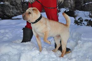 Beautiful Mini Chinese Shar-Pei Female For Sale