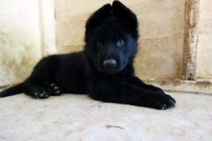 German Shepherd pupies