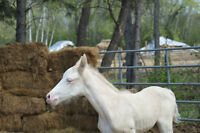 El Ranchito offer's Reg. Tennessee Walking Horses for sale