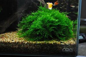 Aquarium plants  Ludwigia red-Japan moss  FREE Java on wood
