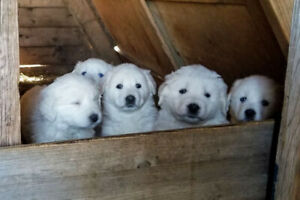 Super Cute Great Pyrenees Puppies