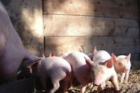 weaner pigs ready to go