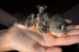 Home Raised Young Zebra and Society Finches