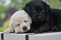 Beautiful Lab Puppies